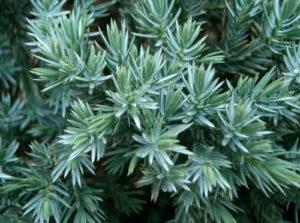 juniperus squamata vivai fleming roma nord
