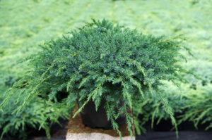 juniperus vivaio fleming roma nord