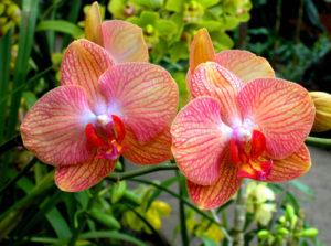 orchidea phalaenopsis vivaio fleming roma nord