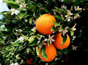 arancio vivai fleming roma nord