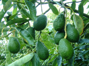 avocado vivai fleming roma nord