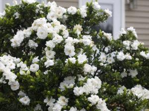 gardenia vivaio fleming roma nord