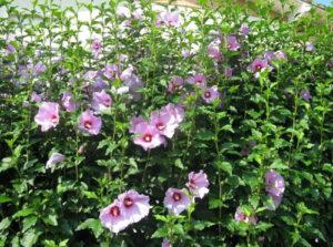 hibiscus vivaio fleming roma nord