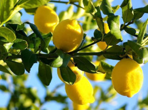 limone vivai fleming roma nord