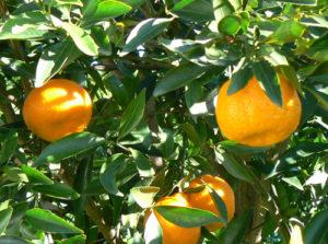 mandarino vivai fleming roma nord