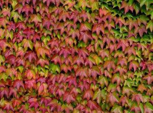 parthenocissus tricuspidata vivai fleming roma nord