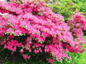 rododendro vivaio fleming roma nord