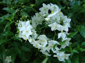 solanum jasminoides vivai fleming roma nord