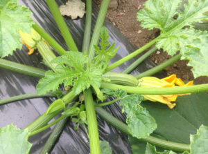 zucchine vivai fleming roma nord